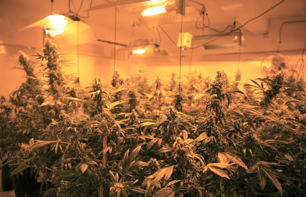 The 420 Cannabis Club's growing room.  (Photo by Frederick Bernas)